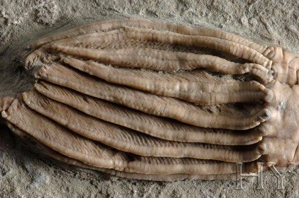 deniz lalesi fosili adnan oktar harun yahya 1
