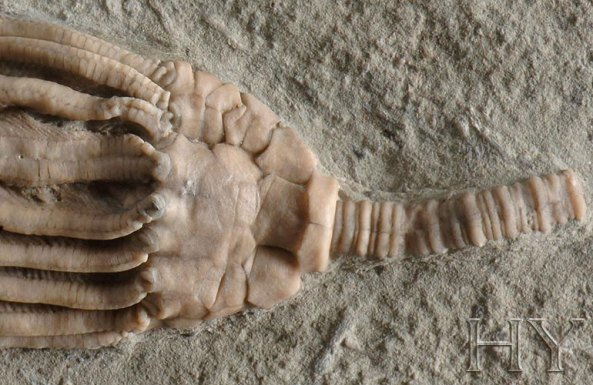 deniz lalesi fosili adnan oktar harun yahya 2