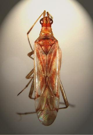 hemiptera fosili adnan oktar harun yahya 1