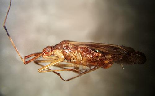 hemiptera fosili adnan oktar harun yahya 3