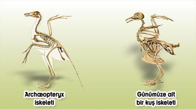 archaeopteryx ara gecis formu degildir evrim teorisi