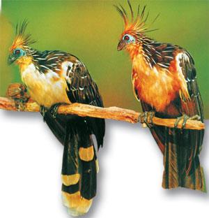 archæopteryx hoatzin penceli kanat evrim teorisi